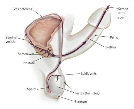 Understanding the reproductive system of a man from Advanced Urology Associates